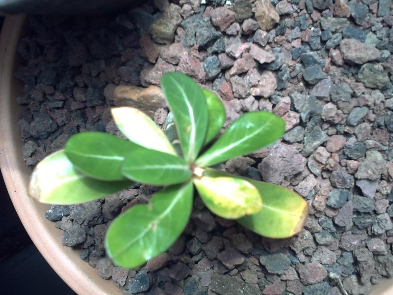 décoloration des feuilles de mon adenium Adeniu17