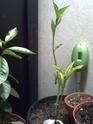 décoloration des feuilles de mon adenium Baobab10