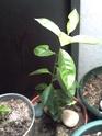 décoloration des feuilles de mon adenium Goyavi10