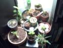 décoloration des feuilles de mon adenium Plante10