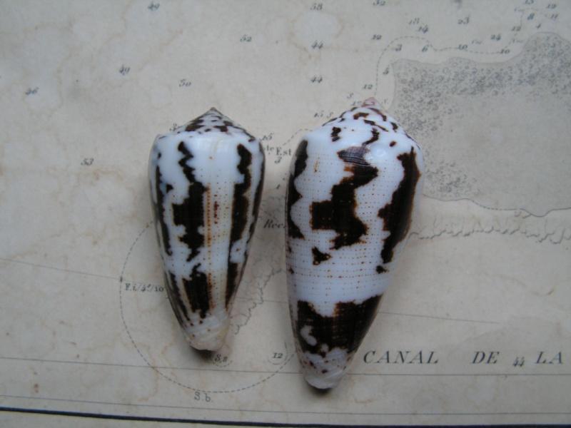 [résolu]Conus magus, Philippines Pict0410