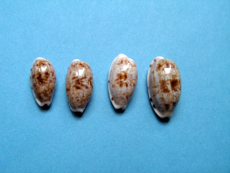 Talostolida teres teres - (Gmelin, 1791)  Pict8910