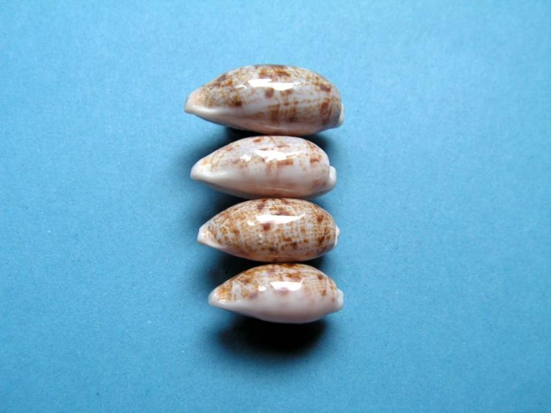 Talostolida teres teres - (Gmelin, 1791)  Pict8913