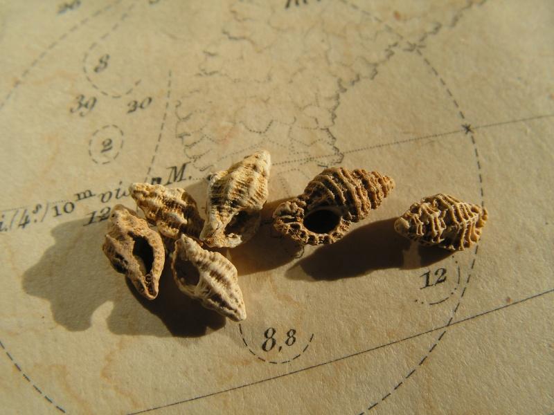 [résolu]Muricopsis crassicosta et Favartia suboblonga. Pict9910