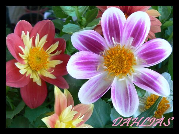 Fleurs de juillet Dahlia15