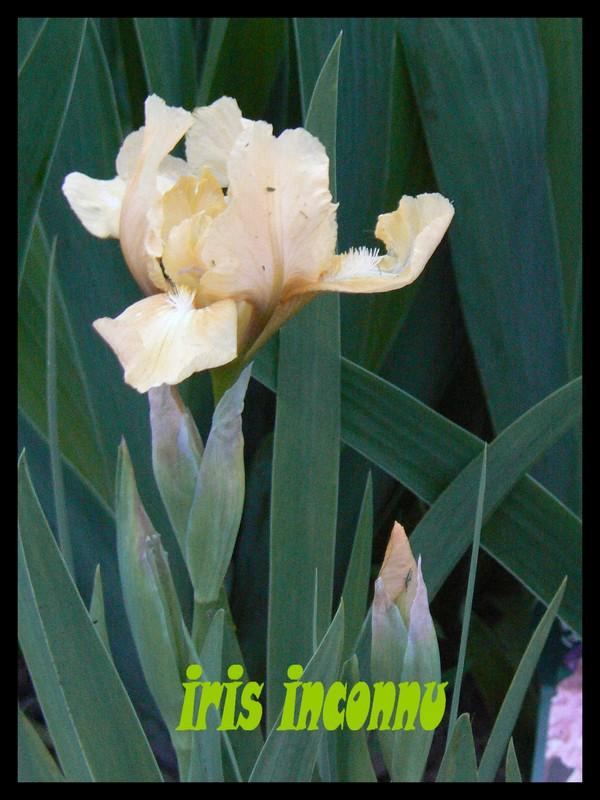 Iris P1110510