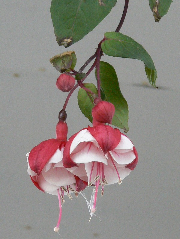 Fleurs de juillet P1110613