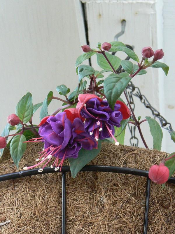 Fleurs de juillet P1110614