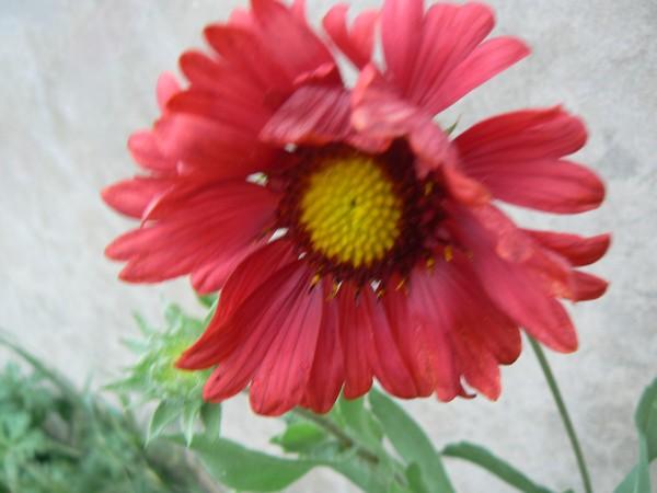 Fleurs de juillet P1120320