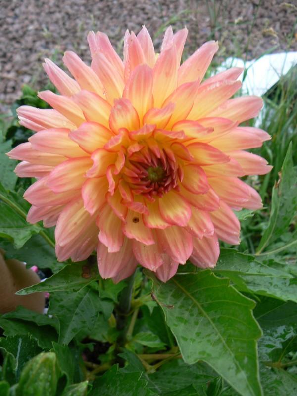 Fleurs de juillet P1120321