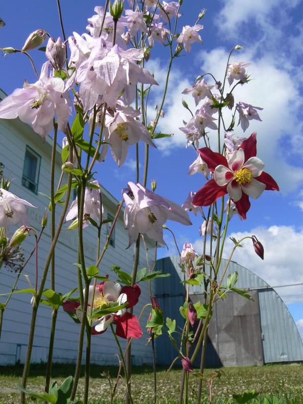 Fleurs de juillet P1120610