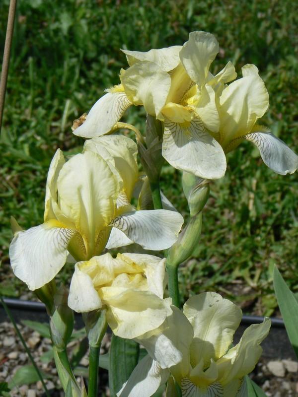 Fleurs de juillet P1120611