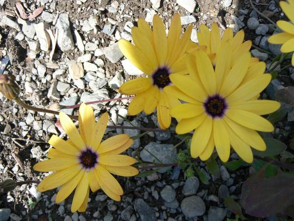 Fleurs de juillet P1120613