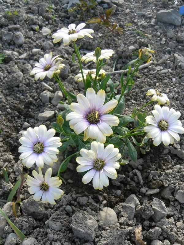 Fleurs de juillet P1120614