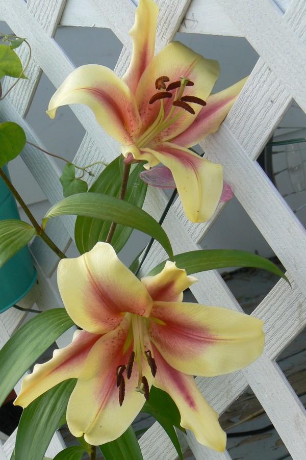 Fleurs de juillet P1120617