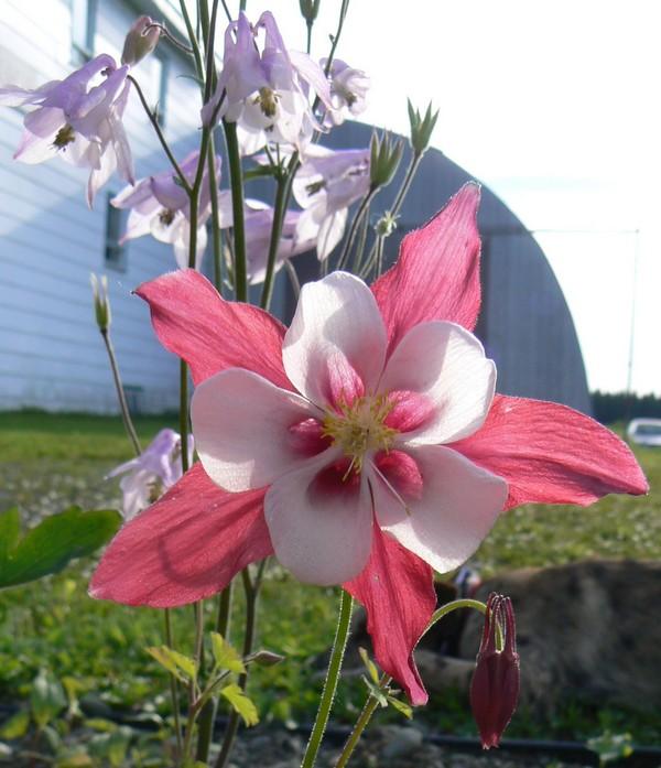Fleurs de juillet P1120620