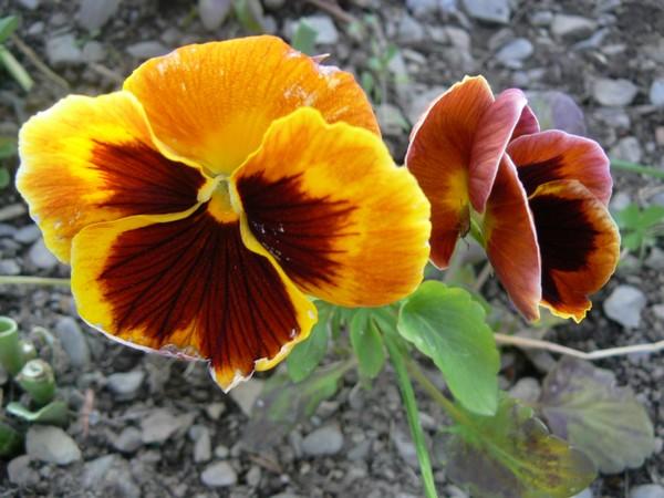 Fleurs de juillet P1120621