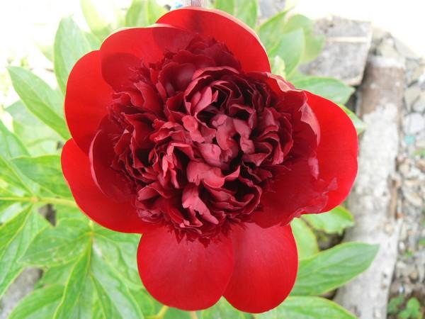 Fleurs de juillet P1120623