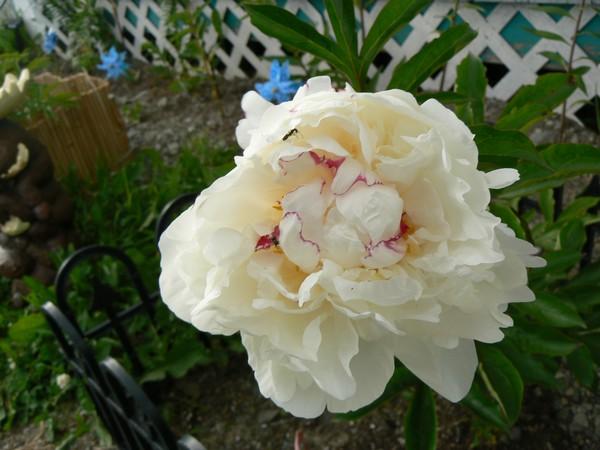 Fleurs de juillet P1120710