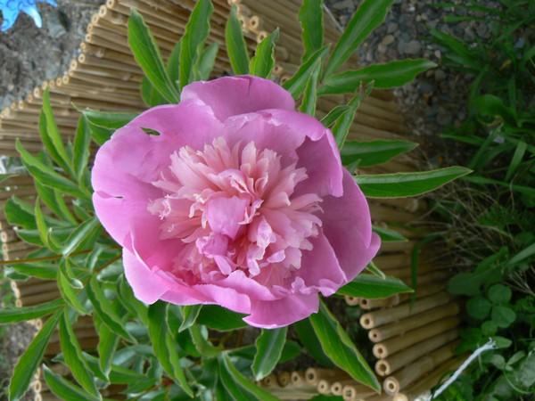 Fleurs de juillet P1120711