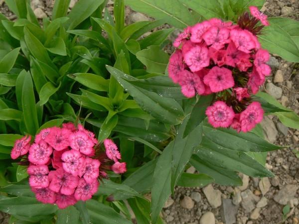 Fleurs de juillet P1120721