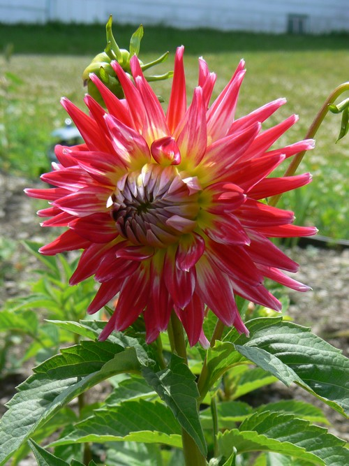 Fleurs de juillet P1120810