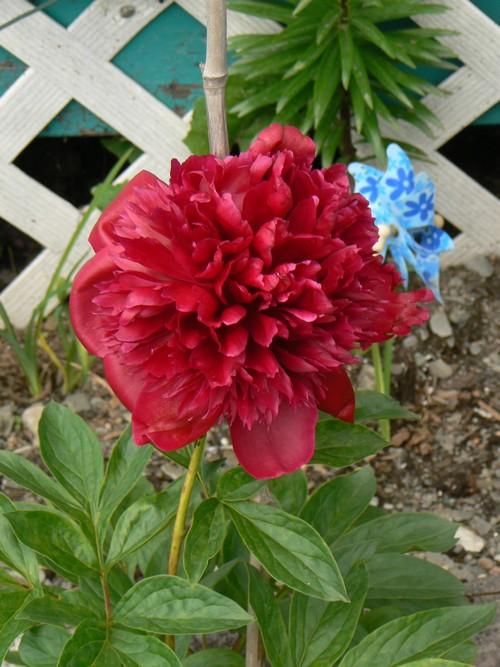 Fleurs de juillet P1120811