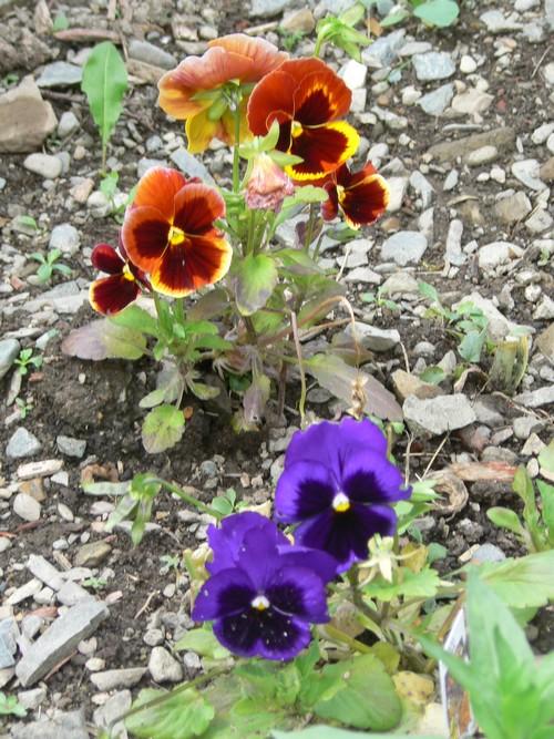 Fleurs de juillet P1120813