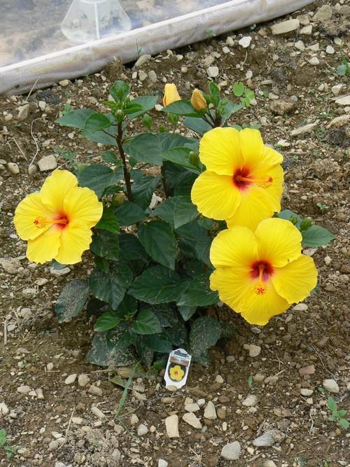 Fleurs de juillet P1120814