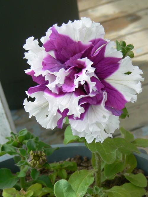 Fleurs de juillet P1120918