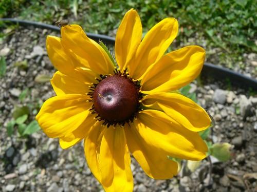 Fleurs de juillet P1120919
