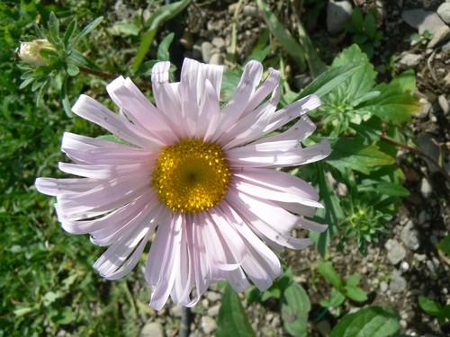 Fleurs de juillet P1120920