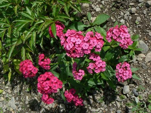 Fleurs de juillet P1120921