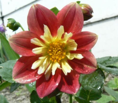Fleurs de juillet P1120922