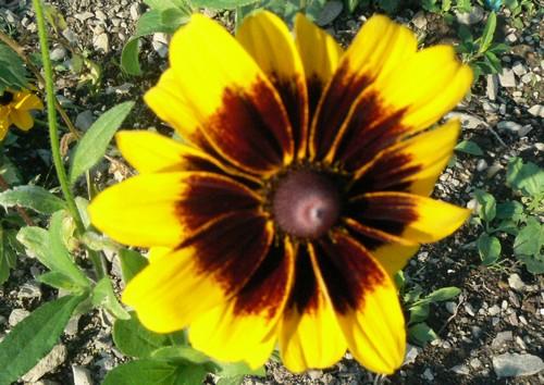 Fleurs de juillet P1130314