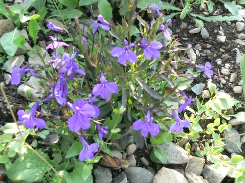 Fleurs de juillet P1130315
