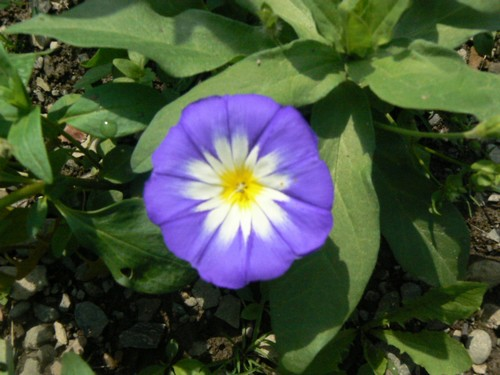 Fleurs de juillet P1130411