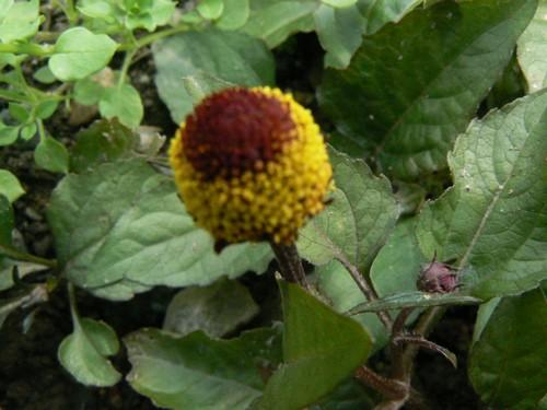 Fleurs de juillet P1130412