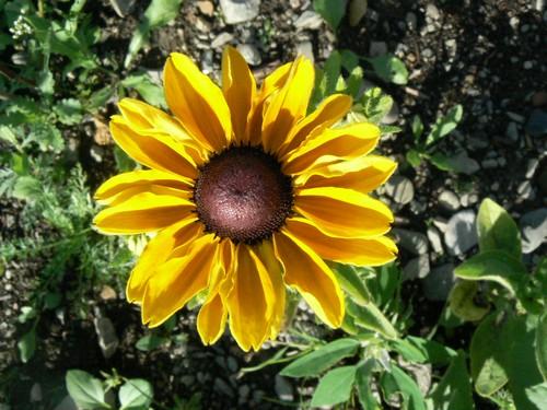 Fleurs de juillet P1130414