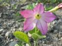 Fleurs de juillet P1120618