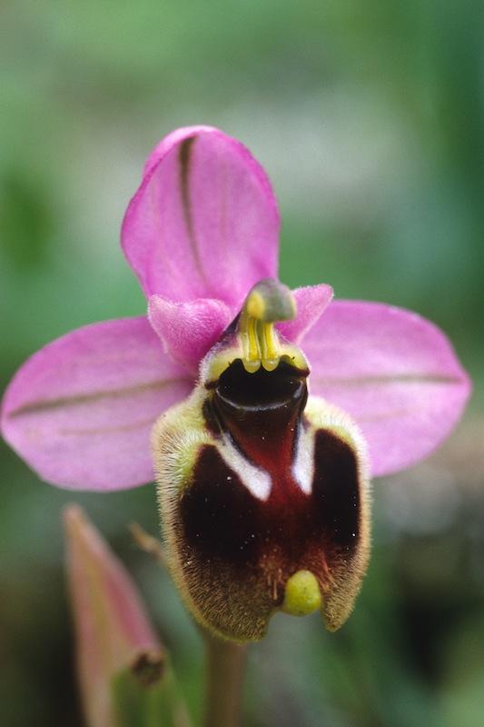 Ophrys aprilia 19990412