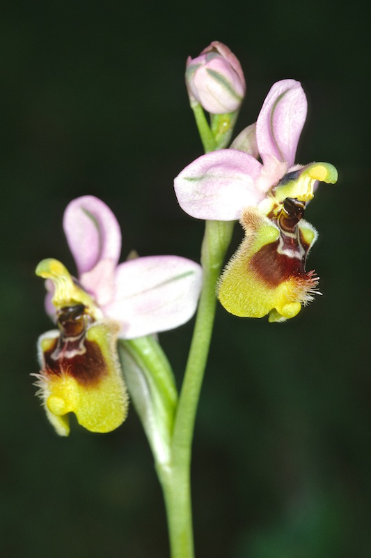 Ophrys neglecta ( Ophrys oublié ) 20000410