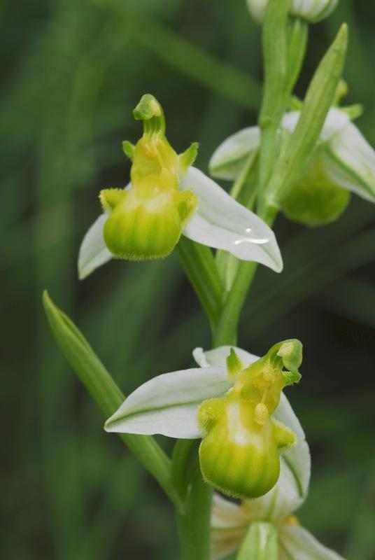 Ophrys apifera var chloranta Dsc_0140