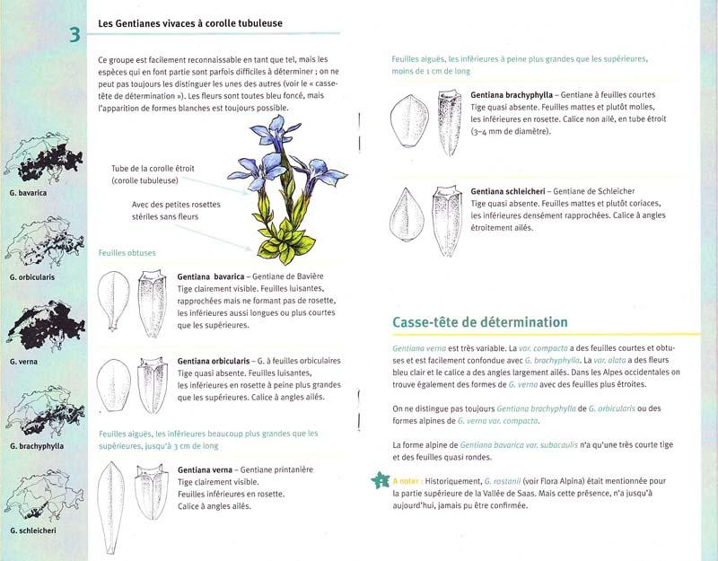Gentianes / guide de détermination N°1 Gentia11