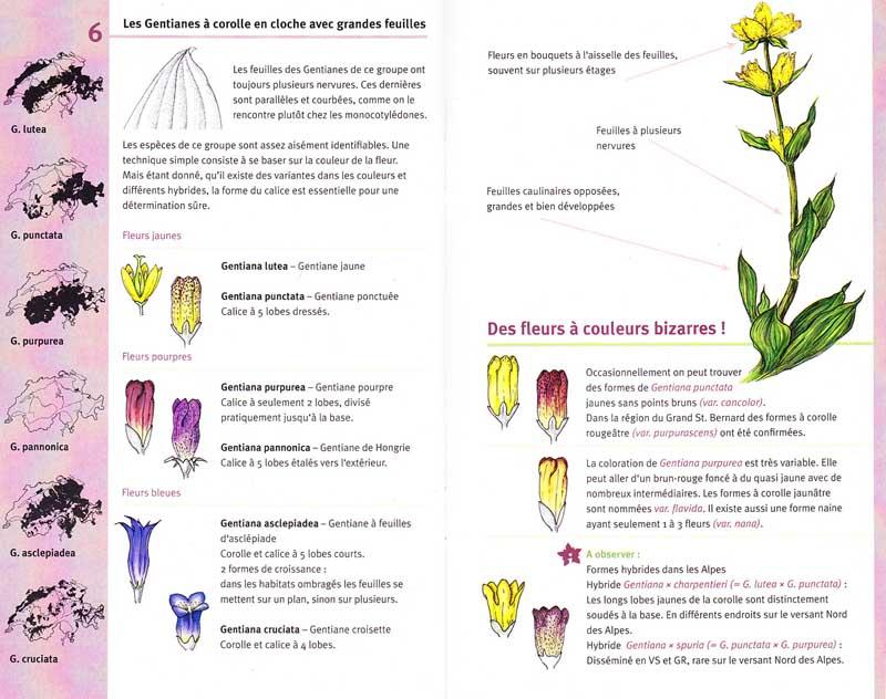 Gentianes / guide de détermination N°1 Gentia12