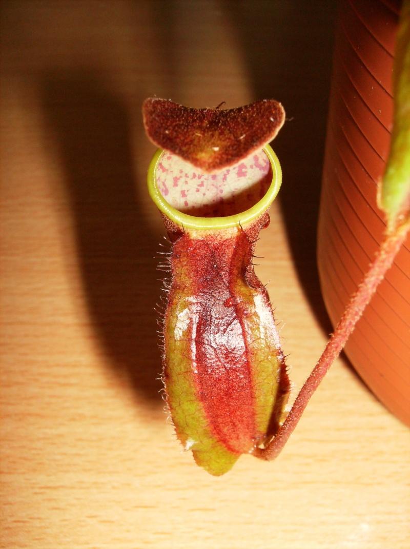 Nepenthes alata (le vrai), clone de CEDEVIT Hpim0613