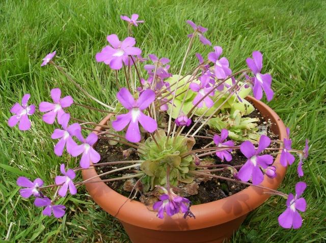 Ping, Utri, Heliamphora, Nep, Sarra, Drosera, Dionaea Hpim0711