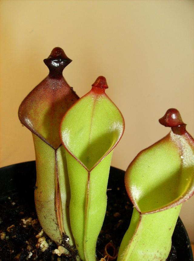 Ping, Utri, Heliamphora, Nep, Sarra, Drosera, Dionaea Hpim0810