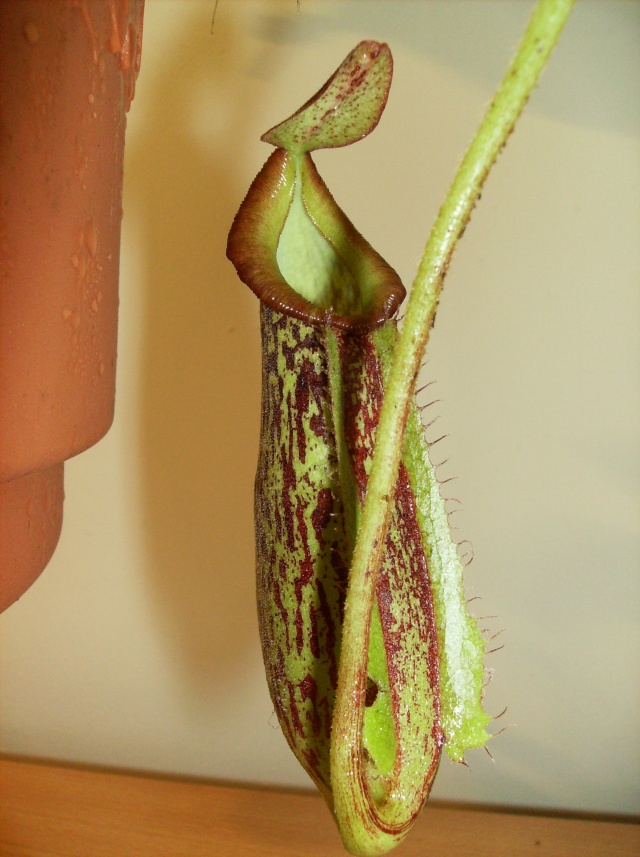 Ping, Utri, Heliamphora, Nep, Sarra, Drosera, Dionaea Hpim0813