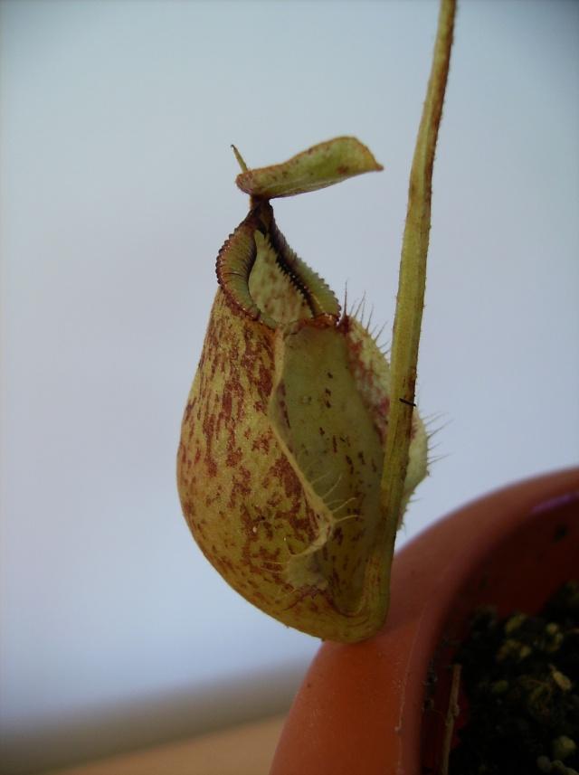 Ping, Utri, Heliamphora, Nep, Sarra, Drosera, Dionaea Hpim0815